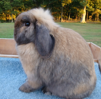 86th ARBA Convention Holland Lop Updates | Tru-Luv Rabbitry